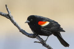Red winged blackbird male. Red winged blackbird (Agelaius phoeniceus) in spring stock photos