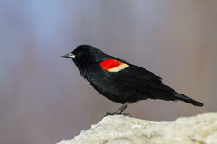 Red winged blackbird male Royalty Free Stock Photography