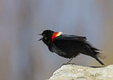 Red winged blackbird male Royalty Free Stock Image