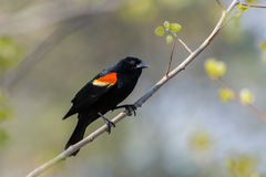 Red-winged Blackbird. Male Red-winged Blackbird on a branch near a nest Royalty Free Stock Photography