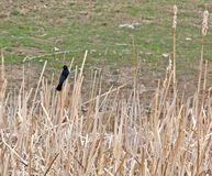 Red-Winged Blackbird Male In Cattails. A male Red-Winged Blackbird sitting in a field of dry cattails stock photo
