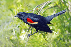 Red-winged Blackbird Male Stock Images