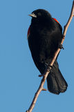 Red-winged Blackbird. Male Red-winged Blackbird perched on a branch Royalty Free Stock Image
