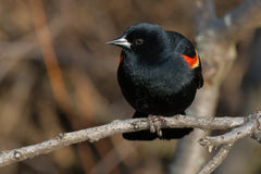 Red-winged Blackbird. Male Red-winged Blackbird perched on a branch Royalty Free Stock Images