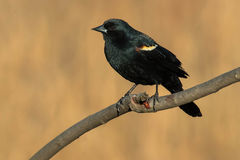 Red-winged Blackbird. Male Red-winged Blackbird perched on a branch Royalty Free Stock Photography
