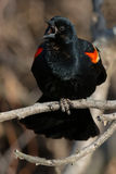 Red-winged Blackbird. Male Red-winged Blackbird perched on a branch calling out his territory Stock Photography