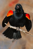 Red-winged Blackbird. Male Red-winged Blackbird perched on a branch calling out his territory stock photos
