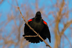 Red-winged Blackbird. Male Red-winged Blackbird perched on a branch calling out his territory Stock Image