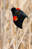 Red-winged Blackbird. Male Red-winged Blackbird perched on a dead cattail stalk calling out his territory Royalty Free Stock Photography