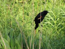 Red Winged Blackbird. Male red winged blackbird perched on plant Stock Photography