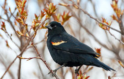Red-Winged Blackbird. A male Red-Winged Blackbird perched in a tree whose leaves are just beginning to bud.  Early spring near Medicine Hat, Alberta, Canada Royalty Free Stock Image