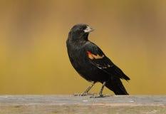 Red-winged Blackbird Stock Image