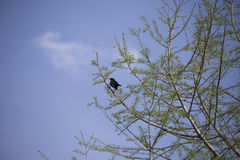 Red-Winged Blackbird. Male red-winged blackbird foraging perched in a tree Stock Image