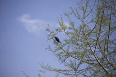 Red-Winged Blackbird. Male red-winged blackbird foraging perched in a tree Royalty Free Stock Photo