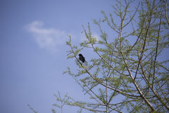 Red-Winged Blackbird. Male red-winged blackbird foraging perched in a tree Royalty Free Stock Images
