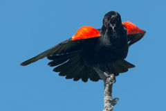 Red-winged Blackbird. Male Red-winged Blackbird singing from on top of his perch Stock Photography