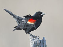 Red-winged Blackbird Male Royalty Free Stock Photography