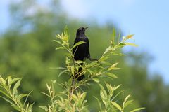 Red Winged Blackbird. A male Red Winged Blackbird on a tree branch Stock Photos