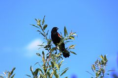 Red Winged Blackbird. A male Red Winged Blackbird on a tree branch with blue sky in background Stock Photo