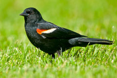 Red-winged Blackbird. Male Red-winged Blackbird walking in the grass Stock Photography