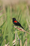 Red winged blackbird in marsh Stock Photo