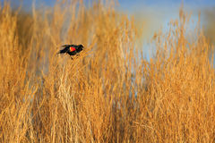 Red-winged Blackbird in Marsh. Red-winged Blackbird Agelaius phoeniceus singing for a female during the spring Stock Photo