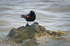 Red-winged blackbird in the middle of a river Stock Photo