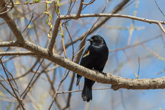 Red-winged Blackbird. The Red-winged Blackbird is a migratory Songbird of North America Royalty Free Stock Image