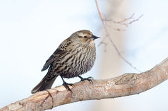 Red-winged Blackbird. With mouth open and shoulders shrugged Stock Photography