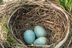 A red winged blackbird nest in some reeds. With three eggs royalty free stock image