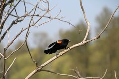 A red winged blackbird perched on a branch royalty free stock images