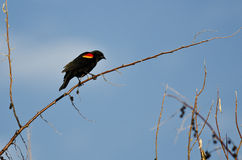 Red-Winged Blackbird Perched on a Branch Stock Photos