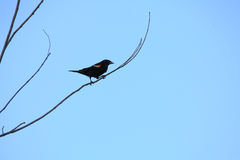 Red-winged Blackbird Perched on Branch Stock Photos