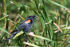 Red Winged Blackbird. Perched on cattail Royalty Free Stock Image