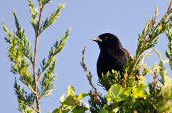 Red-Winged Blackbird Perched in a Cedar Tree. A Male Red-Winged Blackbird Perched in a Cedar Tree Stock Photo
