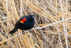Red Winged Blackbird. A Red Winged Blackbird perched on grass at Camas National Wildlife Refuge near Hamer, Idaho Stock Images
