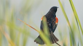 Red-winged blackbird perched in the grasses on a lake in the summer at Crex Meadows Wildlife Area in Northern Wisconsin royalty free stock photo