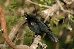 Red-winged blackbird. A red-winged blackbird perched on a limb Royalty Free Stock Photos