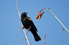 Red-Winged Blackbird Perched in Tree Stock Images