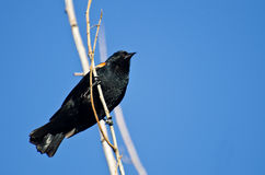 Red-Winged Blackbird Perched in Tree Royalty Free Stock Photography