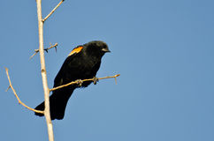 Red-Winged Blackbird Perched in Tree Royalty Free Stock Images