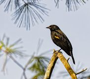 Red winged blackbird perched in a tree. A red winged blackbird perched on a tree limb on a summer day stock images