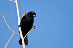 Red-Winged Blackbird Perched in Tree Royalty Free Stock Photo
