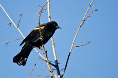 Red-Winged Blackbird Perched in Tree Royalty Free Stock Image