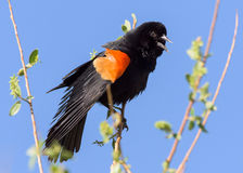 Red-winged Blackbird Perched in a Tree Royalty Free Stock Image