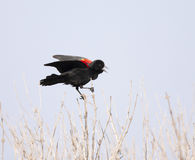 Red-winged blackbird perched on twigs calling with beak open and Stock Image