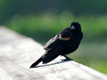 Red-winged Blackbird. Perched on a wooden fence Stock Photo