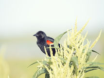 Red-Winged Blackbird perches Stock Photos