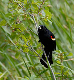 Red-winged blackbird, plants in background Royalty Free Stock Photos