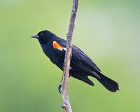 Red-winged Blackbird profile Stock Photos